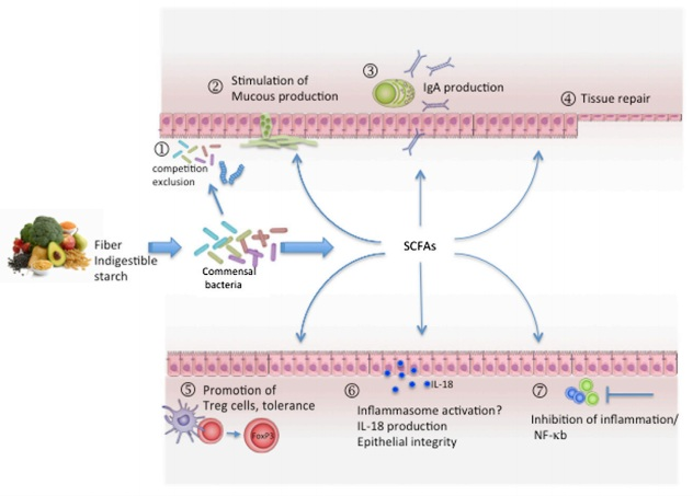 Dietary-Fiber-SCFAs-and-Mechanisms-of-Gut-Homeostasis